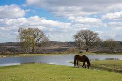 Pônei novo da floresta que pasta por uma grande lagoa na opinião de Bratley Fotos de Stock Royalty Free