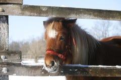 Pônei que olha fora da cerca do inverno Imagens de Stock Royalty Free