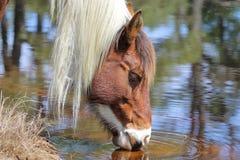 Pônei selvagem de Chincoteague Foto de Stock Royalty Free