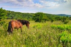 Pônei selvagem VA Grayson Highlands State Park foto de stock royalty free