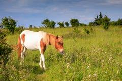 Pônei selvagem VA Grayson Highlands State Park foto de stock