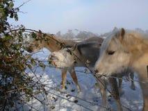 Pôneis da neve em Firle em Sussex, Reino Unido Foto de Stock Royalty Free