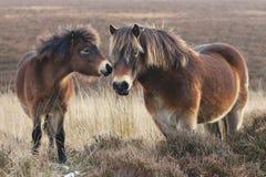 Pôneis de Exmoor imagens de stock royalty free
