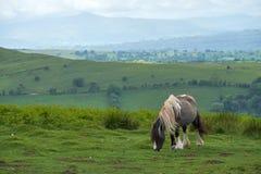 Pôneis e cavalos selvagens, neve, parque nacional das balizas do brecon Fotos de Stock