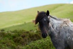 Pôneis e cavalos selvagens, neve, parque nacional das balizas do brecon Imagem de Stock Royalty Free