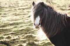 Pôneis e cavalos selvagens, neve, parque nacional das balizas do brecon Imagens de Stock