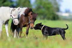 Pôneis e um cão no campo Fotografia de Stock Royalty Free