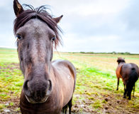 Pôneis islandêses Fotografia de Stock Royalty Free