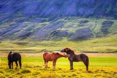 Pôneis islandêses Foto de Stock