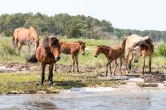 Pôneis selvagens de Chincoteague com potros novos Fotografia de Stock