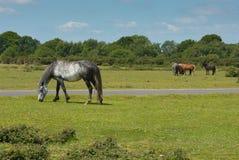 Pôneis selvagens Forest Hampshire England novo inglês Reino Unido Foto de Stock Royalty Free