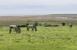 Pôneis selvagens, Konik Polski, perto dos pântanos do Suffolk Fotografia de Stock Royalty Free