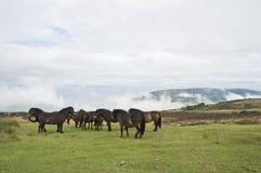 Pôneis selvagens sobre o monte de Porlock Fotografia de Stock Royalty Free