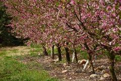 Frutteto in primavera Fotografia Stock