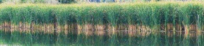 P?ocha, turzyca lub p?ocha na, jeziorze lub stawie zdjęcie stock