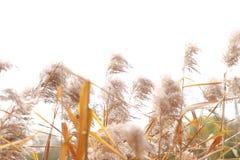 Płocha w wiatrze, płocha kwiaty Fotografia Stock