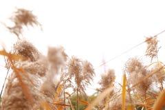 Płocha w wiatrze, płocha kwiaty Obrazy Stock