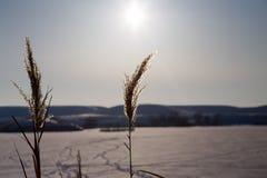 Płochy na jeziorze przy zmierzchem w zimie Zdjęcia Stock