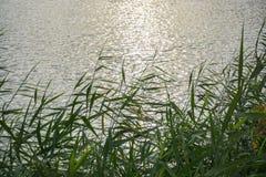 Płochy r przy jeziorem Obraz Royalty Free
