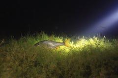 Płoci ryba w nocy rzece Obrazy Stock