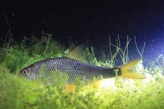 Płoci ryba w nocy rzece Obraz Royalty Free