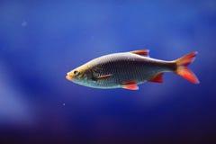 Płoci ryba w rzece Obrazy Stock