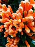 Płomieni kwiaty Zdjęcie Royalty Free