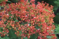 Płomienia drzewa kwiat Królewski Poinciana Zdjęcia Stock