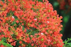 Płomienia drzewa kwiat Królewski Poinciana Obraz Royalty Free
