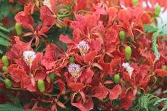 Płomienia drzewa kwiat Królewski Poinciana Fotografia Royalty Free