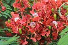 Płomienia drzewa kwiat Królewski Poinciana Zdjęcie Royalty Free