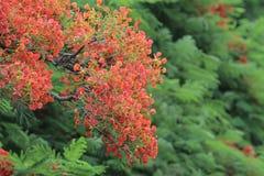 Płomienia drzewa kwiat Królewski Poinciana Obrazy Stock