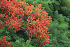 Płomienia drzewa kwiat Królewski Poinciana Obrazy Royalty Free