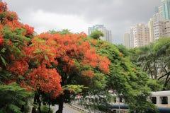 Płomienia drzewa kwiat Królewski Poinciana Zdjęcia Royalty Free