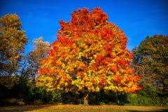 Płomienia drzewo Fotografia Stock