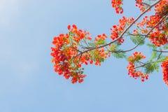 Płomienia drzewo lub Królewski Poinciana drzewo Obrazy Royalty Free