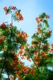Płomienia drzewo z kwiatem i niebieskim niebem Zdjęcia Stock