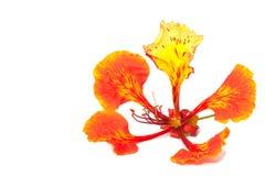 płomienia kwiatu odosobniony drzewo Zdjęcia Royalty Free