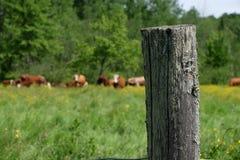 Płotowa poczta z brown krowami w polu w Quebec Fotografia Royalty Free