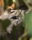 płotowej jaszczurki beli western Obrazy Stock