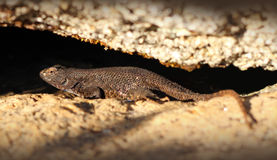 płotowej jaszczurki western Zdjęcie Royalty Free