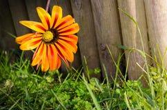 płotowy kwiat Obrazy Stock