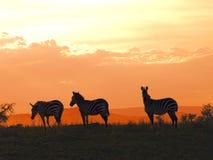 Pôr-do-sol da zebra Imagem de Stock Royalty Free