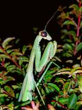 P. Ray Mantis. A stalker in the bushes at my old place Stock Image