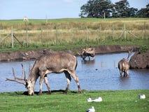 Père David's deers Stock Photography