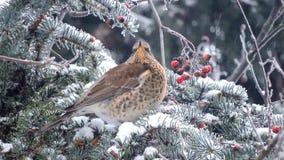 P?ssaro que come bagas vermelhas no ramo, queda de neve, sobreviv?ncia do inverno, p?ssaros de alimenta??o filme