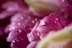 P?tala da flor da tulipa com fundo dos waterdrops Fim acima da foto, macrophotography fotografia de stock royalty free