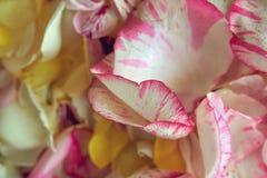 P?talas cor-de-rosa cor-de-rosa dispersadas como um fundo imagens de stock royalty free