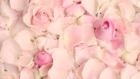 P?talos de la flor de Rose en el fondo de m?rmol almacen de video