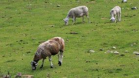 P?turage de moutons clips vidéos